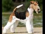 Smooth Foxterrier